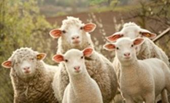 Flock of sheep 3