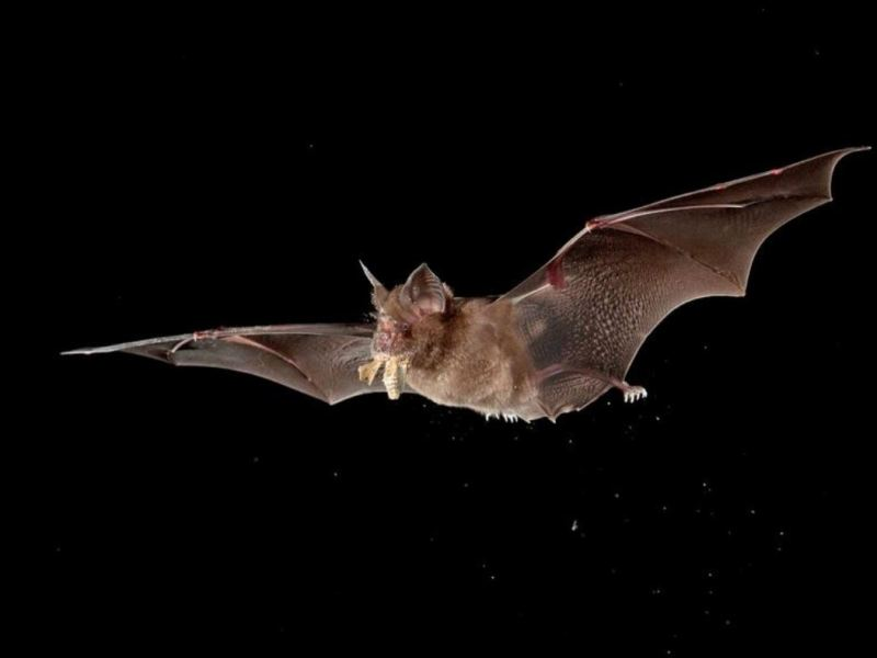 Horseshoe bat flying with wings extended